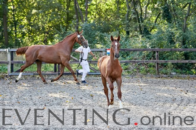 Olivianne winner of the 2019 eventing foal championat photo Eventing Photo