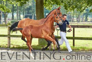 Playtime M winener of Dutch Eventing foal championship © Eventing photo